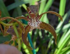 OoN Cymbidium tracyanum (Virgina x Craigieburn) Species Orchid 125mm pot (#5)