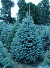 EVERGREEN  COLORADO BLUE SPRUCE TREE  15 SEEDS