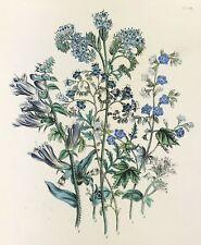 Antique Botanical Blue or Purple Tansy by Jane Loudon hand colour original 1841