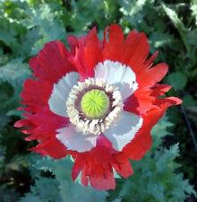 1 gram 1,000+  Danish Flag Afghan Poppy Seeds Papaver somniferum entheogen