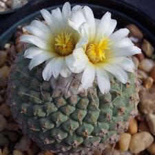 Strombocactus disciformis rare exotic cactus collection cacti aloe seed 50 SEEDS