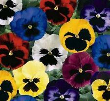 Pansy Seeds, Swiss Giant Pansies, Viola Seeds, Heirloom Flower Seeds, Mixed 50ct