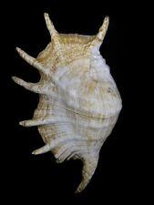 Formosa/shells/Lambis truncata 285mm