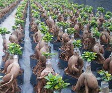 BUY 3 GET 2 FREE Ficus Microcarpa Tree Semente 100pcs Plant Roots Ginseng