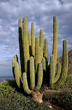 PACHYCEREUS PRINGLEI - GIANT CARDON / ELEPHANT CACTUS, 50 HIGH QUALITY SEEDS