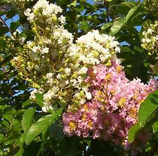 * 40 seeds dual white-pink ! Crepe Myrtle Crape Tree Shrub Lagerstroemia Flower