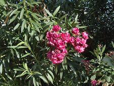 graines,semences de laurier rose