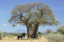 5Pcs Baobab Tree Seeds Adansonia Digitata African Giant Decor Family Heritage