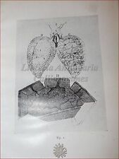 Medicina - MALPIGHI, Marcello: DE PULMONIBUS Osservaz. anatomiche POLMONI 1944