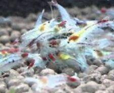 10 Blue/red Velvet/Jelly Freshwater Shrimp Neocaridina Davidi, Thailand (new)