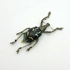 The Weevil Beetle (rhinoscapha insignis) Insect Specimen