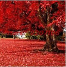 50 particles Beautiful Japanese Red Maple Seeds home & garden tree seed