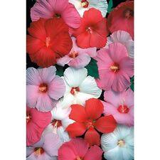 15+ Hibiscus Dinnerplate Mix/ Perennial Flower Seeds