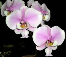 Phalaenopsis schilleriana species Orchid Plant