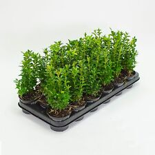 Buchsbaum Pflanzen im Topf, Buxus sempervirens, Höhe: 15-20 cm, Heckenpflanzen,