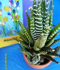 Garden Succulent Haworthia Fasciata Established South Africa Native