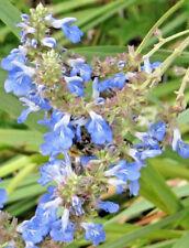 Salvia uliginosa (bare rooted clump) perennial plant