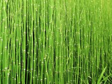 Scouring Rush Equisetum Hyemale Rough Horsetail Pond Plant Perennial 1L Pot