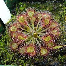 10 SUNDEW Drosera CARNIVOROUS Flower Seeds * Combined S/H * Free Gift
