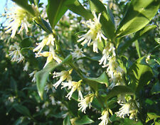 2 fragrant flowering shrub Christmas Box SARCOCOCCA CONFUSA evergeen shade plant