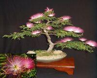 Albizia Julibrissin Mimosa Bonsai * Pink Tree * Seeds *Amazing Rare