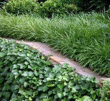 100 x Dwarf Liriope Evergreen purple flowers border grass plants in 40mm pots