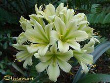 Clivia N°21  TK Original  x Charl's Green      2 Seeds / Graines
