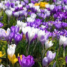 120Pcs/Pack Saffron Seeds Flower Seed Crocus Home Garden Plant Decoration
