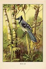 """1926 Vintage TODHUNTER BIRDS """"BLUE JAY"""" GORGEOUS 90 YEARS OLD Color Lithograph"""