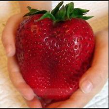 500pcs Bag Red Giant Arrampicata Strawberry Semi Frutta sementi per la spedizione gratuita nuovo invio