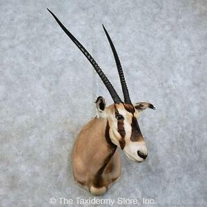 #15841 P | Fringe-Eared Oryx Taxidermy Shoulder Mount For Sale