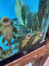 L018 Big Spot Gold Nugget Pleco 4 Inch Tropical Live Fish