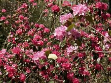 New listing Rhododendron 'Landmark'- Plant - Approx 8-14 Inch