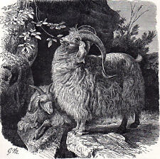 Angora Goat 1894 Mammal - Gustav Ludwig Heinrich Mützel Victorian Engraving