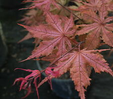 Japanese Maple SIX TREES OF YOUR CHOICE!