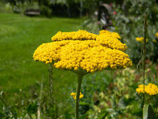 yarrow, Perennial Gold, Yellow flower, 1380 seeds! GroCo*