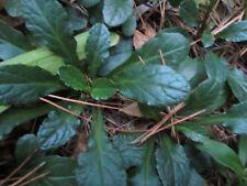 5+ Plants Ajuga Bronze Beauty Reptans Bugleweed,Carpet Bugle spreading Perennial