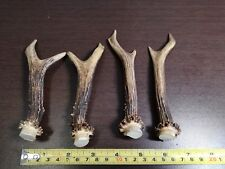 Lot of 2 Small Pairs of Roe Antlers For Decorations Knife Dagger Handles # 4068