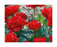 Rose Bare Root Plant 'Fragrant Cloud' Hybrid Tea Crimson