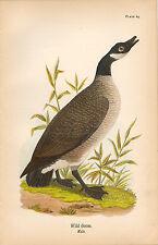 Rare 1890 Antique Audubon Bird Print ~ Wild Goose Canada ~ Striking!