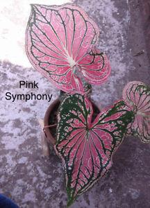 Caladium Pink Symphony Bulbs 2 per order FREE SHIPPING 🎉