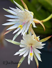 Epiphyllum Hookeri Strictum Orchid Cactus 10 Cuttings 7-10 inches each