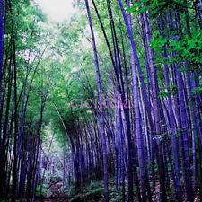 50PCS RARE Fresh Purple Bamboo Seeds,Timor Bambusa Lako, Hardy Easy Garden Plant