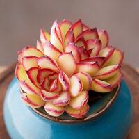 8cm 1-cutting Succulent live Plant Echeveria pulidonis Home Garden Rare Grow pot