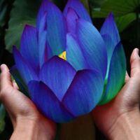 10pcs Blau Lotus Samen Seerosen Blumensamen Duftende Wasserpflanzen Blühenden