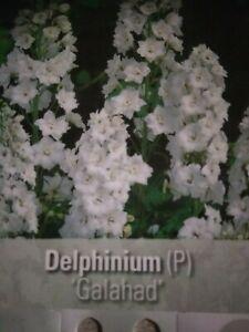 Delphinium Galahad 3  Plants hardy Perennial