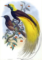 "Vintage John Gould Australian Bird Art CANVAS PRINT~ Bird of Paradise 24""X18"""