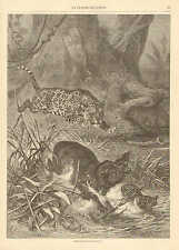 Jaguar, Attacks Tapir, Mother & Baby, Vintage 1880 French Antique Art Print