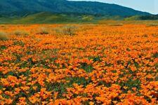 2000 Graines Pavot de Californie Eschscholzia californica California Poppy Seeds