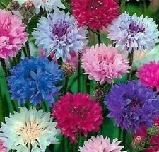 Dwarf Mix Cornflower Seeds 200+ Bachelor Button Flower wildflower Free Shipping